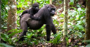congo-gorilla-safari
